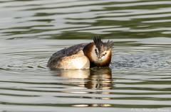 Great Crested Grebe (steven waddingham) Tags: wild bird water great rutland grebe