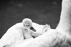 Captain of the Ship (Fairy_Nuff (new website - piczology.com!)) Tags: swan cygnet captain dorset abbotsbury swannery