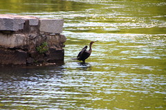 Kormorant (alexanderglerch) Tags: bird water animal ga georgia outdoor augusta
