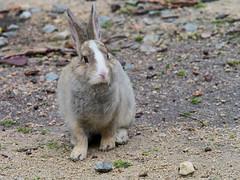 B6250531 (VANILLASKY0607) Tags: rabbit bunny bunnies nature animal japan photo wildlife wildanimal hydrangea rabbits rabbitisland wildrabbit okunoshima