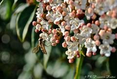 Sirfide su fiori di Viburno (Flying Mind **) Tags: flowers macro nature animals bug rosa natura bugs fiori bianco animali insetto insetti pianta viburnum viburno