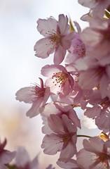 sakura (* Yumi *) Tags: pink flower sakura  yourfavorite 25faves masterphotos artisticflowers   mygearandme
