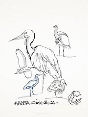 Heron sketches (matteotarenghi) Tags: heron sketch disegno airone oasisantalessio tarenghi nikond300