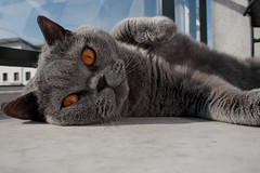 IMG_1338 (Tammagotchie) Tags: cat hair kat lazy short british lui zon