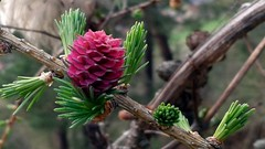 2012-04-19 18.31.16p (adamdosa) Tags: flower sexy spring amazing cool nice interesting great attractive sensational notable conifer memorable astonishing eminent toremember kúl toexplore fasza mişto dögös fáin