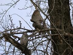 Great Horned Owls (K Fletcher) Tags: canada calgary bird raptor alberta owl greathornedowl