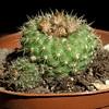 Frailea schlosserii (Zruda) Tags: cactus plant succulent frailea