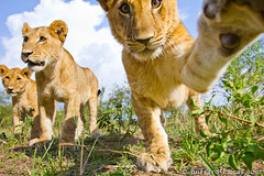 Cub Swipe (Burrard-Lucas Wildlife Photography) Tags: cub lion beetlecam