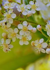 Photinia serrulada   Lindl. / fotinia. (chemazgz) Tags: espaa spain flora plantas plantae angiospermae rosaceae arbustos magnoliophyta magnoliopsida rosceas spermatophyta dicotil