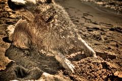 weT (niK10d) Tags: dog wet fur bathing 31mm pentaxk10d mygearandme mygearandmepremium mygearandmebronze