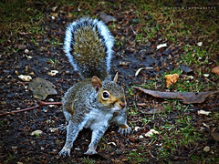 Dribling ( Jolly Joker ) Tags: park nature animal speed grey rodent squirrel velocit scoiattolo jollyjoker dribling roditore