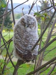 tawny owlet (gus guthrie1) Tags: bird nature birds woodland scotland angus wildlife birding scottish raptor owl prey loch birdwatching owlet scottishbirds kinnordy kinnordyloch