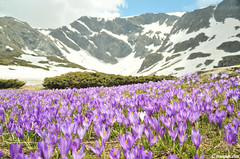 Spring bloom (.:: Maya ::.) Tags: flowers mountain snow nature beauty landscape purple lakes peak crocus bulgaria rila seven          mayaeye mayakarkalicheva