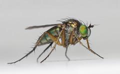 Dolichopus cf pennatus (WvB Photography - The Sky Is The Limit) Tags: macro fly pentax rings extension smc k5 m50 f17 pentaxk5 slankpootvlieg weslyvb weslyvanbatenburg dolichopuscfpennatus