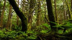 (A Be) Tags: trees sky fern green nature moss logs cedar stumps pacificrimnationalpark