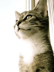 Findus sitting in my Window  (Davidshansen+) Tags: pet cute cat kat chat pussy gato katze   puss mis gatto figaro  huisdier pussycat haustier   kucing pusa    cattus animaldeestimao  missekat     conmo