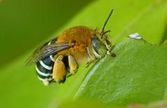 Blue Banded Bee - Amegilla cingulata (Jenny Thynne) Tags: insect australia brisbane bee queensland hymenoptera bluebandedbee amegilla anthophoridae elitebugs