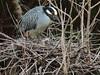 Yellow-crowned Night-Heron chick swallowing long narrow prey 2-20120614 (Kenneth Cole Schneider) Tags: birds florida miramar rookery herons browardcounty