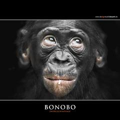 BONOBO (Matthias Besant) Tags: smile look smiling animal animals mammal deutschland monkey tiere eyes hessen looking ape monkeys augen mammals apes fell blick bonobo tier affen affe laecheln primat schauen pygmychimpanzee hominidae blicken primaten saeugetier saeugetiere menschenaffen hominoidea trockennasenaffe zwergschimpanse menschenartige mygearandme affenfell menschenartig highqualityanimals rememberthatmomentlevel1 rememberthatmomentlevel2 matthiasbesantphotography matthiasbesant