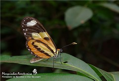 Borboleta - Mechanitis lysimnia (Nymphalidae) (Marquinhos Aventureiro) Tags: brazil brasil butterfly wildlife natureza vida borboleta floresta selvagem nymphalidae mechanitis lysimnia hx400