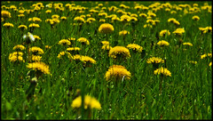Dandelions from Ground Level (LostMyHeadache: Absolutely Free *) Tags: flower green nature field grass yellow spring weed nikon dof blossom perspective dandelion bloom davidsmith calgaryalbertacanada