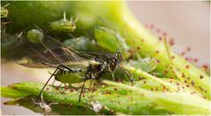 Aphid/Bladluis (TenZNL.com) Tags: macro rose pentax roos aphid k5 whiteflies tamron90mm bladluis greenflies aphidoidea smca50mmf17 blackflies lensstacking rozenknop reversestacking tenznl magnification181