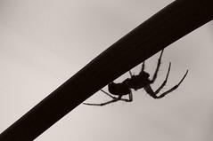 silhouette (Mario Hafner) Tags: bw macro closeup spider nikon krnten makro 70300 raynox sooc nikond90 70300vr beautifulmonsters mariohafner