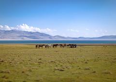 Horses In Front Of Song Kol Lake, Jaman Echki Jailoo Village, Kyrgyzstan (Eric Lafforgue) Tags: horses horse lake mountains nature water animal horizontal clouds landscape mammal asia exterior wildlife horizon bluesky nopeople pasture centralasia kyrgyzstan grazing steppe colorphoto mountainous kyrgyzrepublic kirghizistan kirgistan kirghizstan 9762 kirgisistan قيرغيزستان киргизия キルギスタン quirguizistão songkollakearea jamanechkijailoo