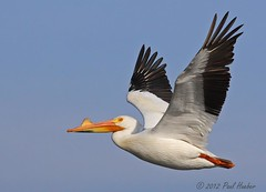 American White Pelican in flight (Pelecanus erythrorhynchos) (Paul Hueber) Tags: bird nature animal fl