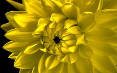 Yellow (idogu) Tags: flowers color colour macro nature nikon natur stock blumen slide selection dia best scan 5000 slides coolscan dias slidescan wwwguidomuellercom diascan guidomuellerdotcom