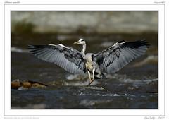 Oiseaux des bords de l'Allier (BerColly) Tags: france heron birds google flickr auvergne oiseaux puydedome aigrettes bercolly