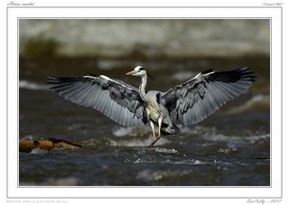 Oiseaux des bords de l'Allier