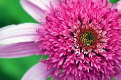 Double Delight Echinacea (susanc59) Tags: echinacea conflower smyrnatn ourdailychallenge doubledelightechinacea