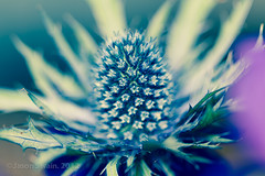 Sea Holly Blues #1 of #2 (s0ulsurfing) Tags: lighting flowers blue light sunlight blur flower color colour art nature beautiful beauty closeup canon petals spring flora focus soft colours dof natural bokeh girly feminine lumiere 7d stems bloom april flowering colourful blooms elegant delicate wight 2012 seaholly eryngiummaritimum s0ulsurfing canon7d
