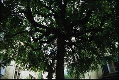 Le dernier arbre de la traverse... (Samuel Raison) Tags: leica mountain analog montagne fuji velvia mountaineering vercors coolscan summilux argentique nikoncoolscanved leicar6 hautsplateauxduvercors traverseduvercors 1435mmr