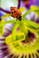 Focus on Now (Tc Morgan) Tags: california ranch ca flower color macro beautiful closeup canon bug studio insect prime creative commons bugs pop 100mm indoors micro 7d passion ladybird ladybug ladybugs nohands passionfruitflower macrophotography elinchrom ladybugonflower canonef100mmf28lisusm tcmorgan insightranch visualtimes