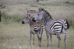 Zebras (jnyaroundtheworld) Tags: africa animals tanzania wildlife lion ngorongoro crater zebra giraffe massai serengeti animaux girafe afrique faune zbre tanzanie greatmigration wetseason manyaralake ndutu felins masa lacmanyara saisondespluies grandemigration