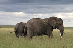 African elephant (jnyaroundtheworld) Tags: africa animals tanzania wildlife lion ngorongoro crater zebra giraffe massai serengeti animaux girafe afrique faune zbre tanzanie greatmigration wetseason manyaralake ndutu felins masa lacmanyara saisondespluies grandemigration