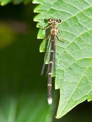 Aciagrion migratum From Above (aeschylus18917) Tags: macro nature japan season insect tokyo spring nikon slim seasons dragonfly   damselfly nerima pxt  odonata 105mm  nerimaku insecta zygoptera 105mmf28 coenagrionidae   shakujikoen    105mmf28gvrmicro   aciagrionmigratum d700 nikkor105mmf28gvrmicro  shakujipark  nikond700 danielruyle aeschylus18917 danruyle druyle   shakujiiken