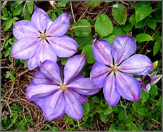 Clematis Plant .