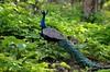 The pride of the peacock is the glory of God. (Manoj Kengudelu) Tags: travel green heritage history beauty nikon asia solitude alone happiness powershot special mysore traveler supershot platinumphoto visiongroup goldstaraward yourphototips d5100 somethingworth