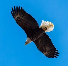 Bald Eagle (ramseybuckeye) Tags: life road county ohio art church allen adult eagle pentax bald zion dogleg k30 da300