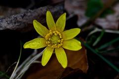 Lentegeel 5 - Klein maar dapper (hrunge) Tags: netherlands lente geel blaricum canoneos50d springyellow lensef100mmf28lmacroisusm ©hrunge march2014 kleinmaardapper lentegeel5