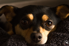 Bo (Puparrazi PhotographY) Tags: b shadow portrait dog pet pets brown sun sunlight chicago chihuahua black color cute up look hair puppy nose photography 1 miniature bed mutt mixed eyes furry mine day looking close time fuzzy head good matthew captured tan handsome sigma ears smith spot whiskers couch terrier day1 e blanket than coloring stray bo bogart manual pup moment breed shelter anti society 1770 adopted cushion eyebrows minpin snout mut handsom cruelty perk sigma1770mm d7100 100happydays mebs09