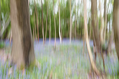 Bluebell wood - ICM style (Woodacus) Tags: wood uk longexposure flowers blue trees england brown blur flower green art nature vertical bluebells woodland petals kent spring flora europe arty artistic unitedkingdom pastel overcast move slowshutter bloom trunk pan botany bluebell lanscape sevenoaks icm silverbirch polariser blurredlines lilyfamily ef24105mmf4lisusm deepcolour intentionalcameramovement canoneos5dmarkii greatbritainswood temperateflower