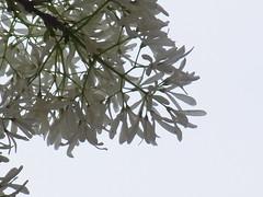 (nofrills) Tags: flowers white flower tree green floral whiteflower flora blossom blossoms whiteflowers  chionanthusretusus chinesefringetree