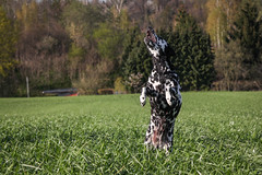 Ente im Anflug... (blumenbiene) Tags: dog white playing black game dogs female walking fun meadow wiese hund schwarz dalmatian hunde spaziergang spielen dalmatiner weis hndin