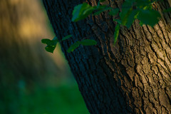 Evening sun in forest (PaulHoo) Tags: sun abstract holland detail tree green nature netherlands forest evening leaf spring woods nikon dof bokeh bos lightroom amsterdamse sidelit 2016 d700