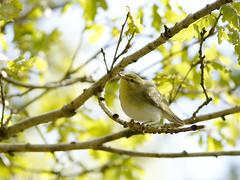 Wood warbler (pili-pala51) Tags: dinas woodwarbler