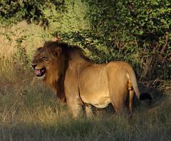 King (clarissa.blackburn_sa) Tags: trees king lion jungle roar